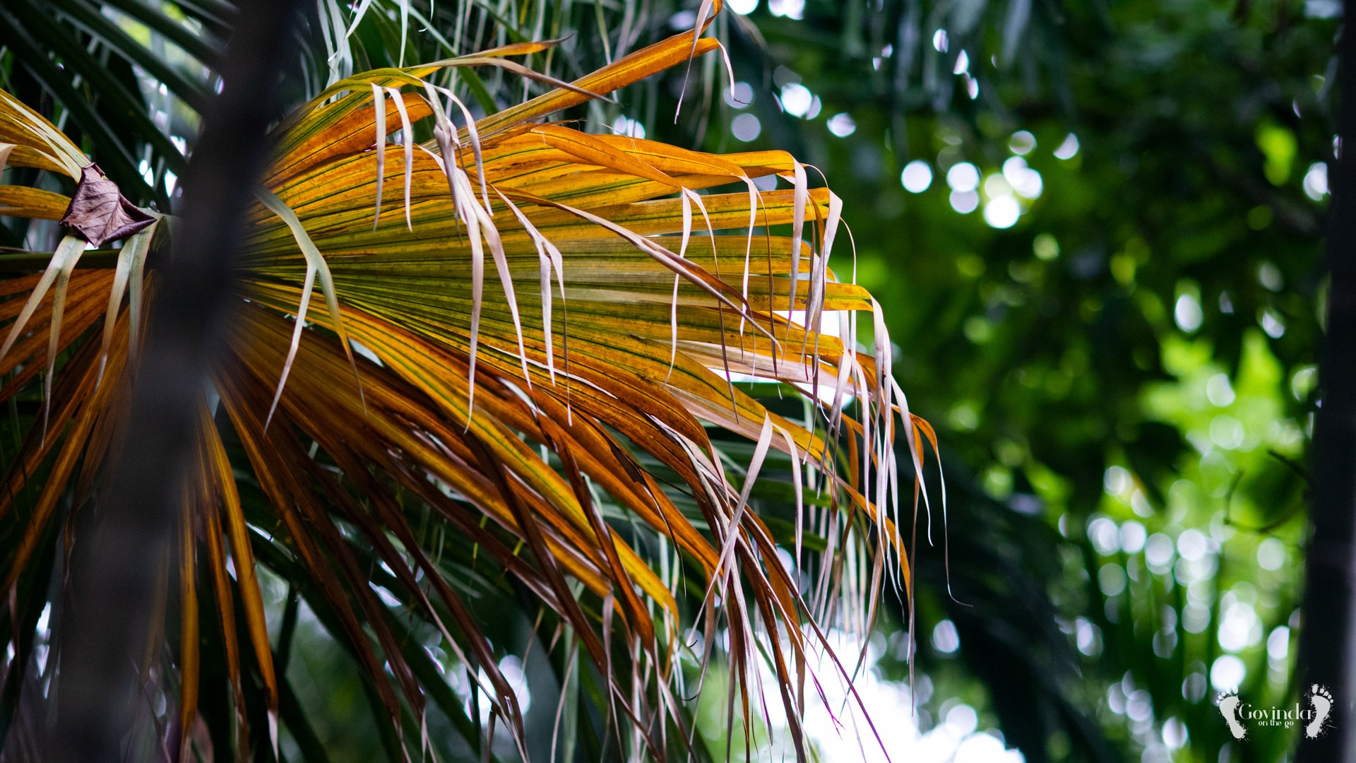 Dry palm leaves in Botanical Garden Mauritius