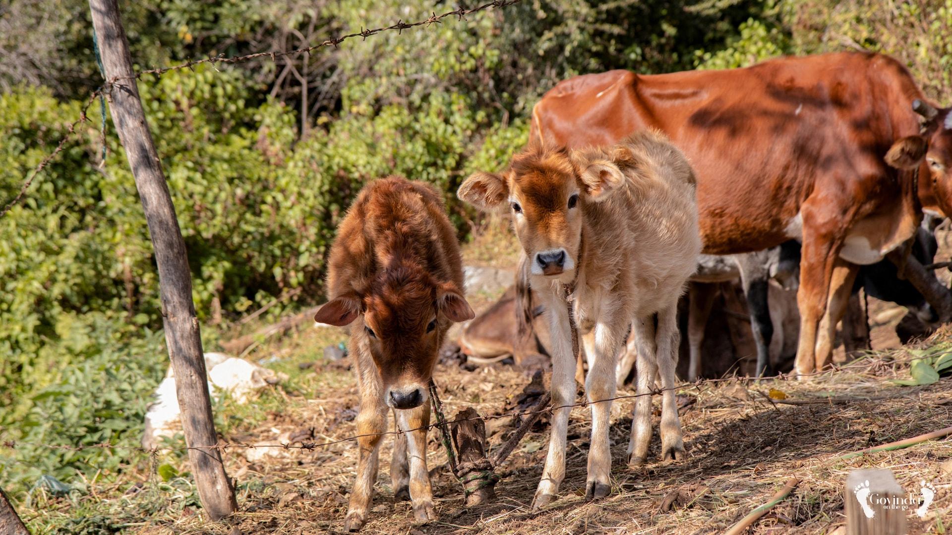 Cows on the way to Mahavatar Babaji's cave