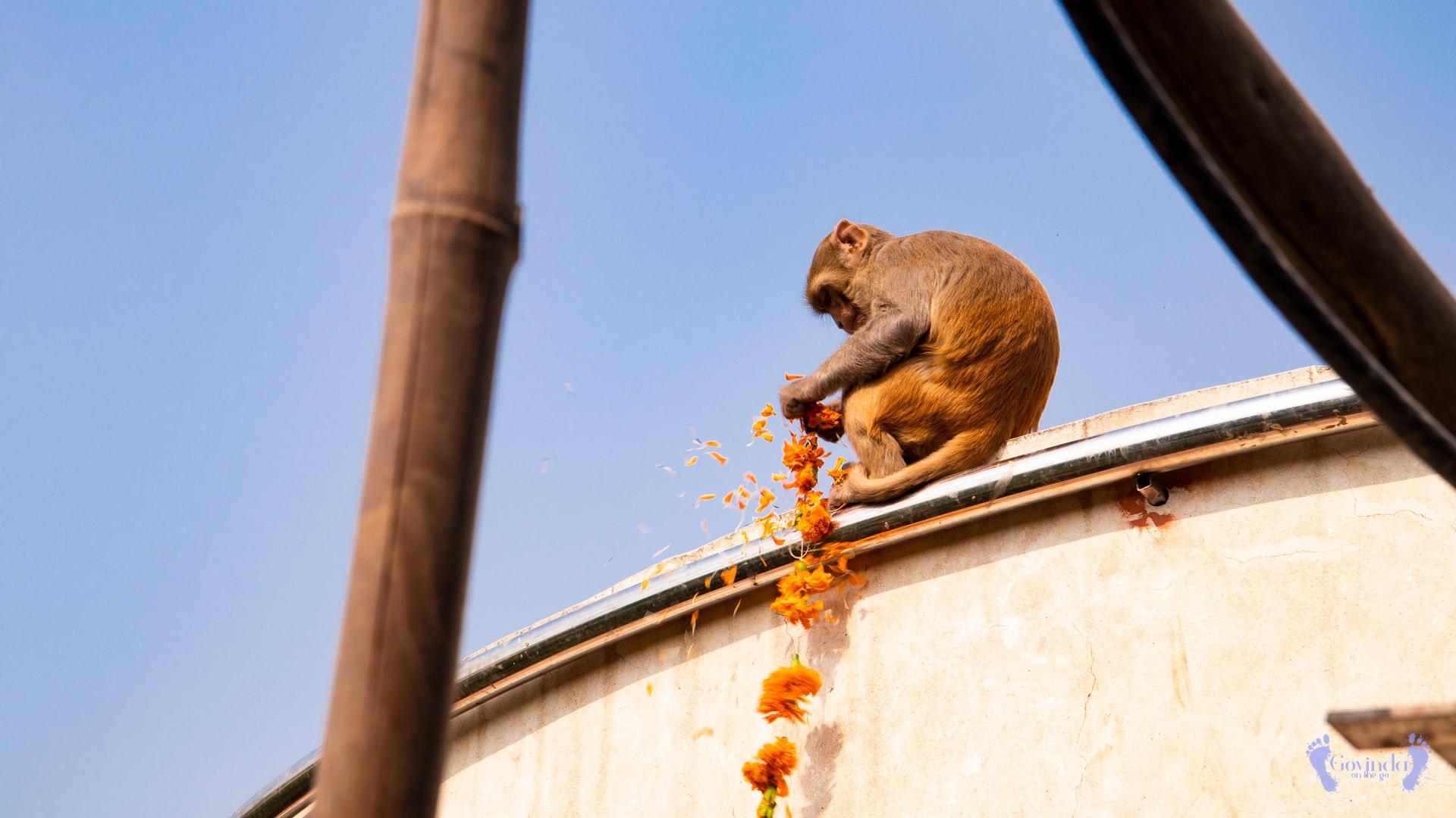Crazy monkey stealing garlands in Nidhivan forest