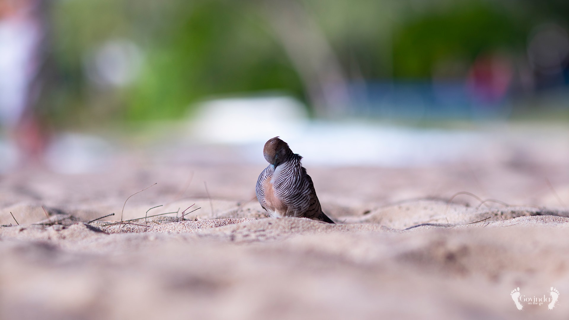 Dove scratching her neck on the beach in Mauritius