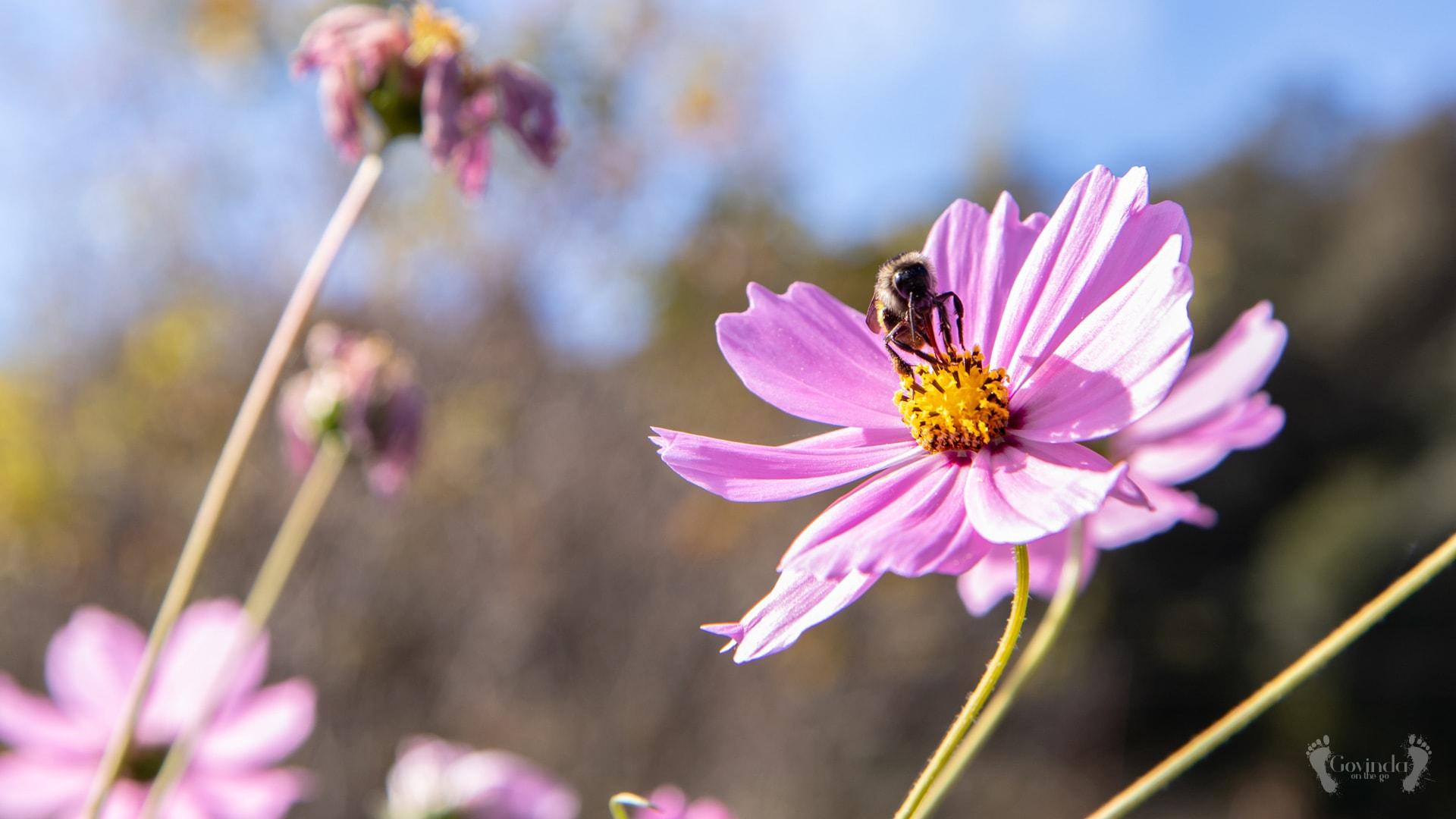 Himalayan bee on Himalayan flower