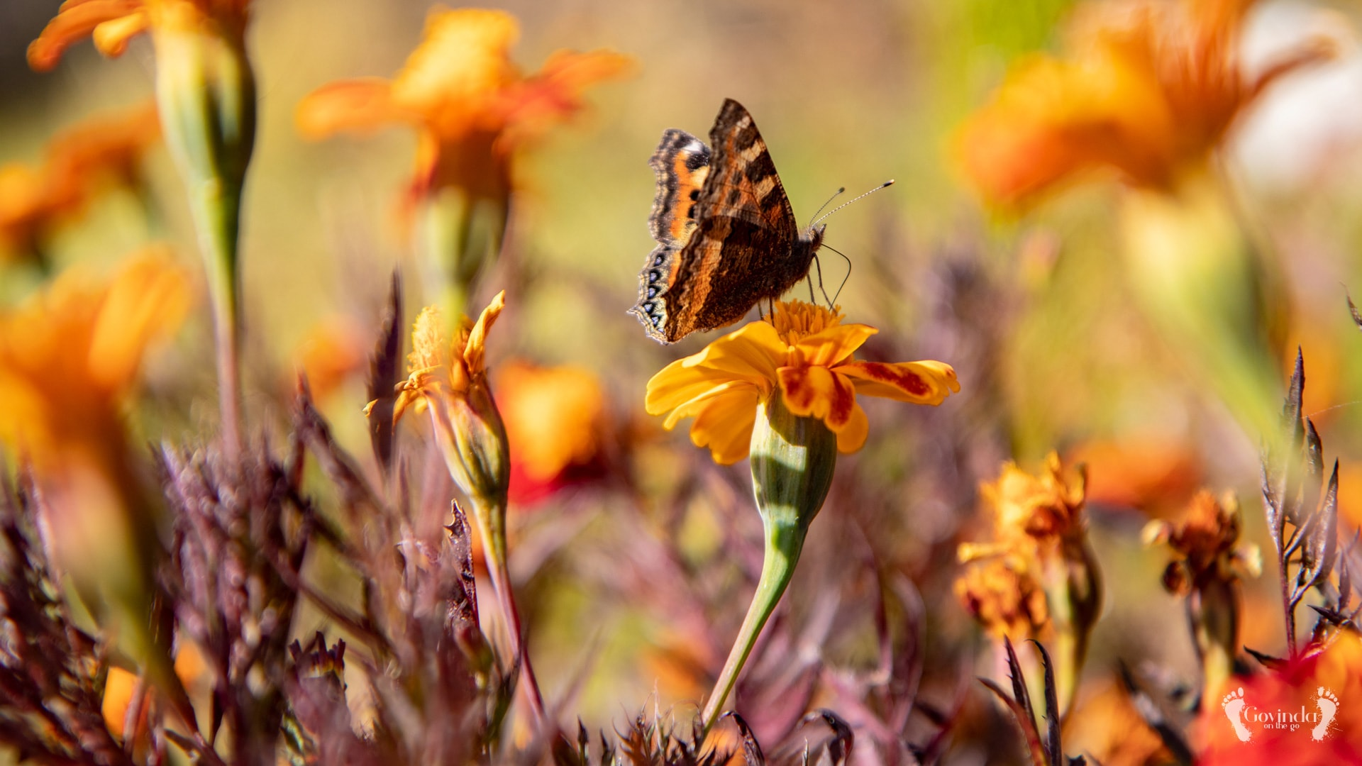 Himalayan butterfly on Himalayan flower