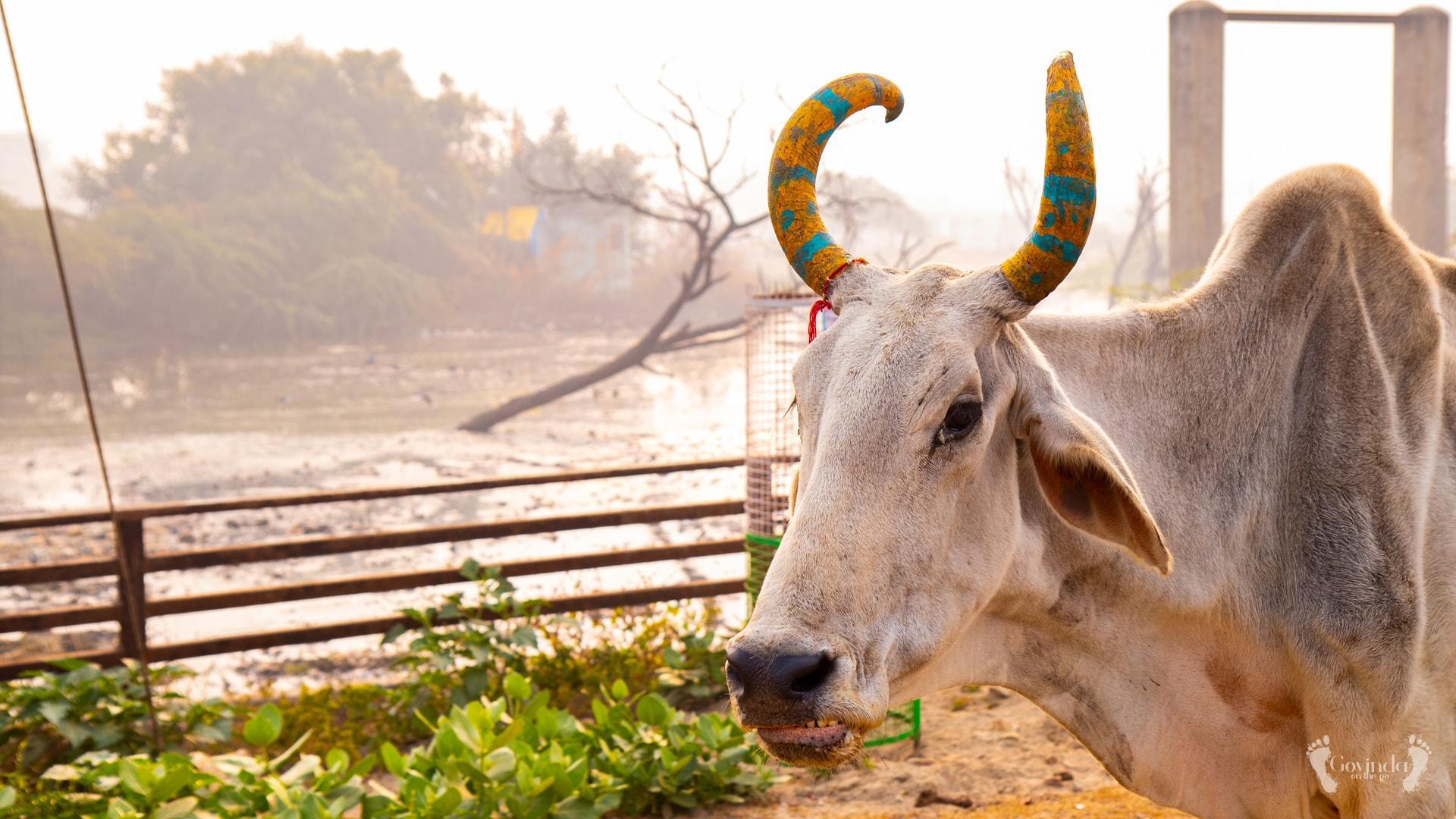 Holy cow on Vrindavan road