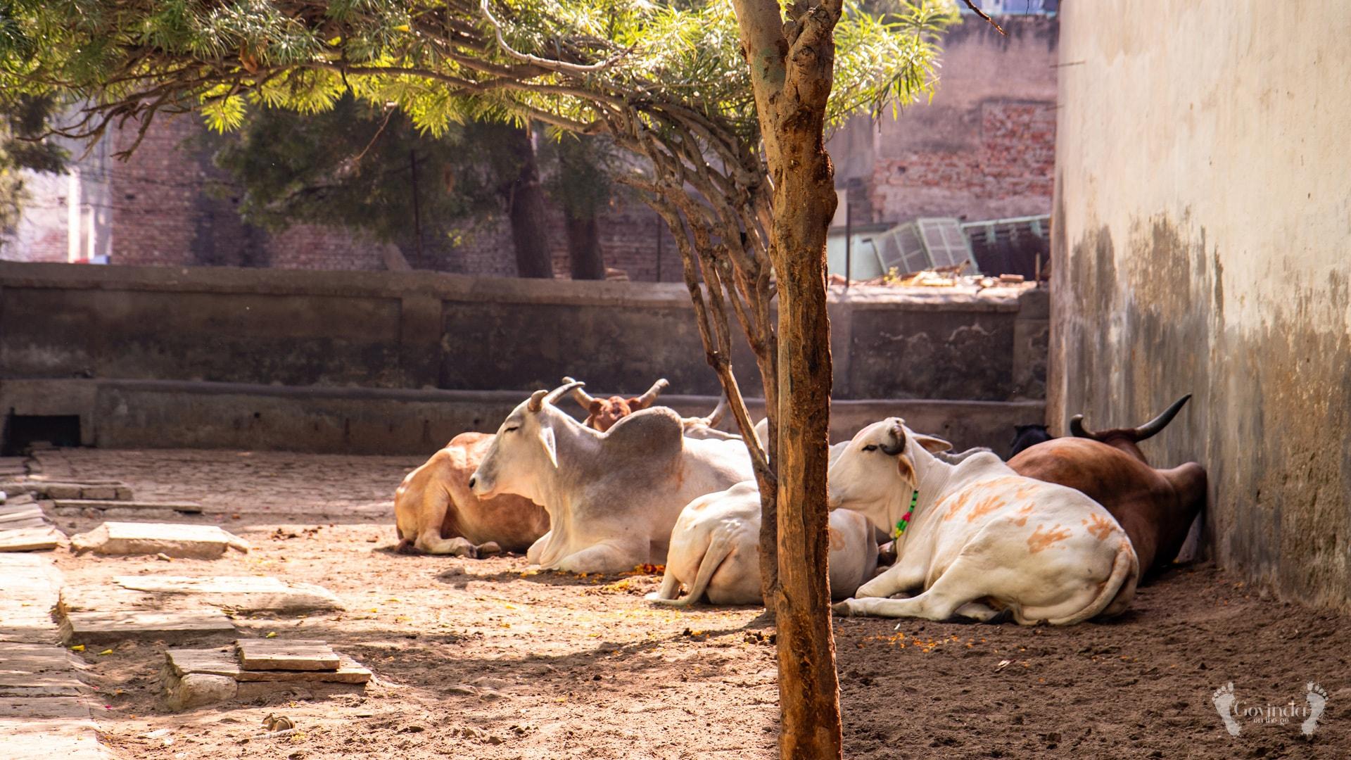 Holy cows of Vrindavan enjoying afternoon siesta