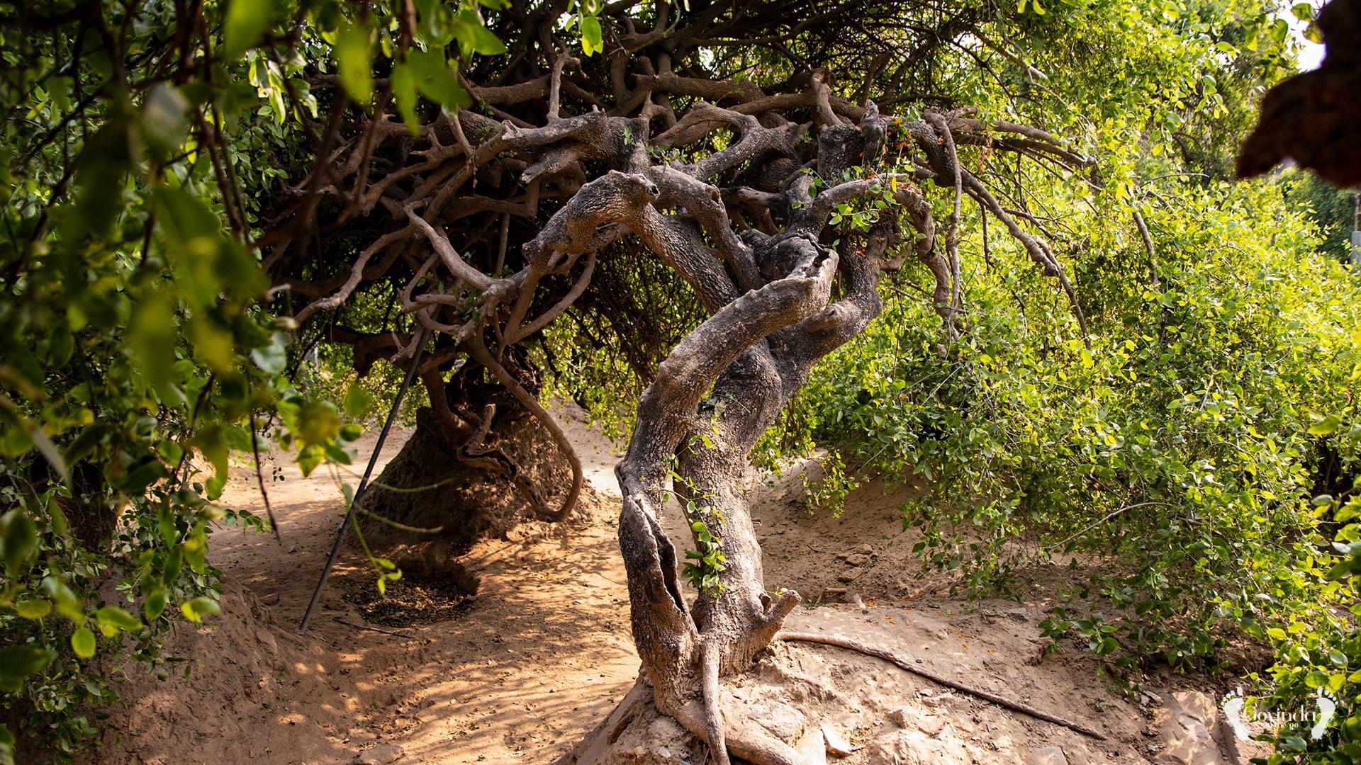 Tulsi trees in Nidhivan forest in Vrindavan